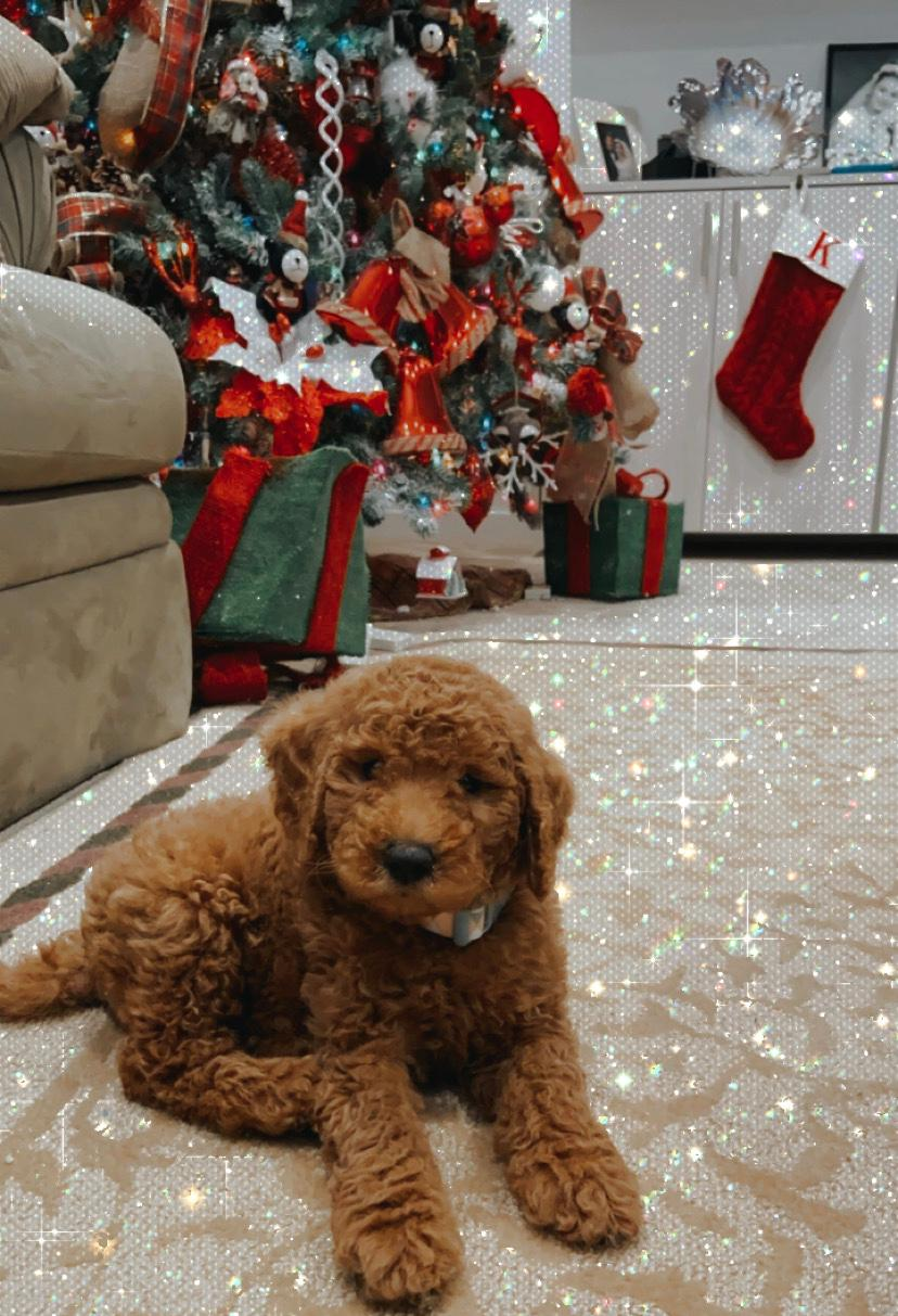 goldendoole Christmas puppy
